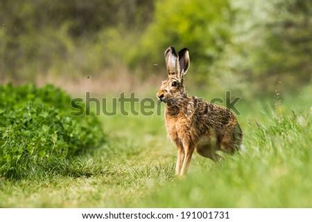 European hare (Lepus europaeus) on the field - stock photo