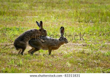 European Hares in Love - stock photo