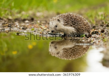European hedgehog and the water in the forest - stock photo