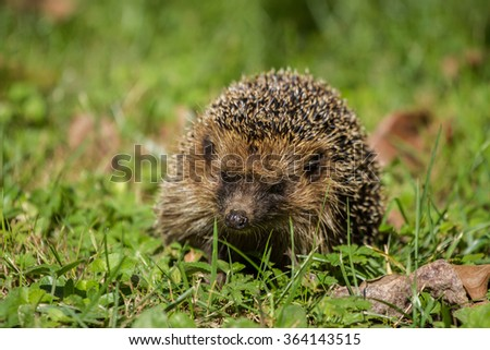 European hedgehog (Erinaceus europaeus), Italy countryside
