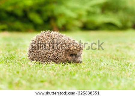 European hedgehog in cut grass