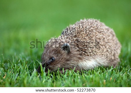 European hedgehog in the grass - stock photo