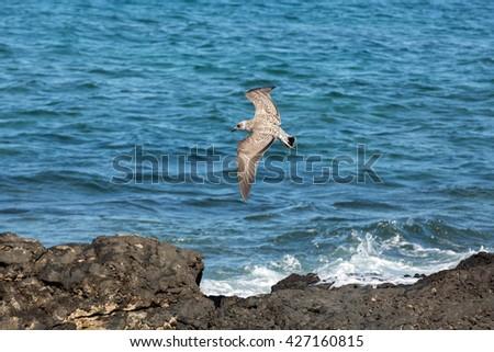 European Herring Gull, Larus argentatus - stock photo