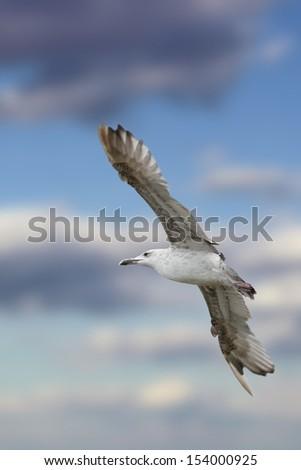 european herring gull ( larus argentatus ) flying over the sky - stock photo