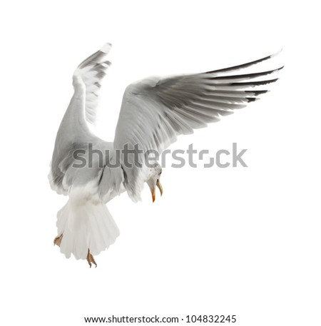 European Herring Gull, Larus argentatus, 4 years old, flying against white background - stock photo