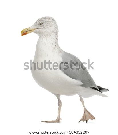 European Herring Gull, Larus argentatus, 4 years old, walking against white background - stock photo