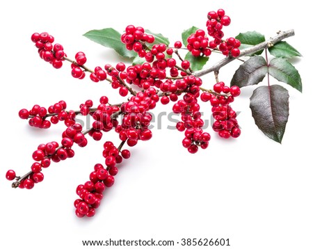 European Holly (Ilex) leaves and fruit on a white background. - stock photo