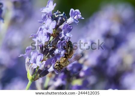 European honey bee( Apis mellifera) on a lavender flower - stock photo