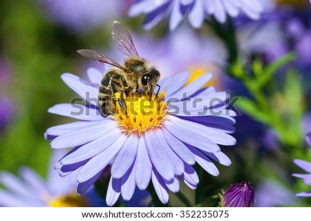 European honey bee( Apis mellifera) on aster flower - stock photo