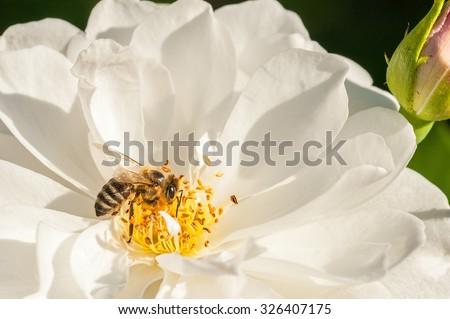 European honey bee( Apis mellifera) on white rose flower - stock photo