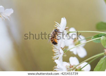 European honey bee trying to get in to apple blossoms  - stock photo