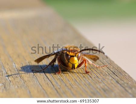 European Hornet (Vespa crabro) - stock photo