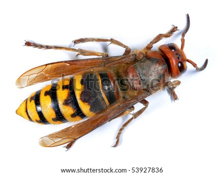 European Hornet (Vespa crabro) on white background - stock photo