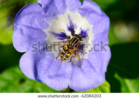 European hoverfly, helophilus pendulus on a blue flower - stock photo