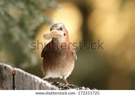 european jay ( garrulus glandarius ) with bread in beak - stock photo