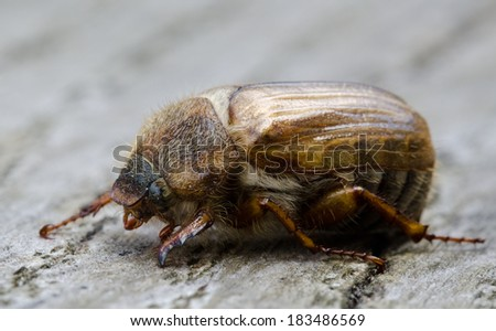 European june beetle