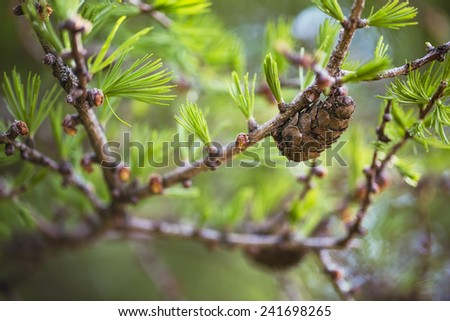 European Larch close up with selective focus, in springtime - stock photo
