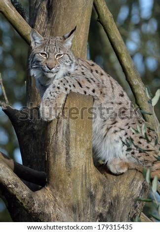 European Lynx - stock photo