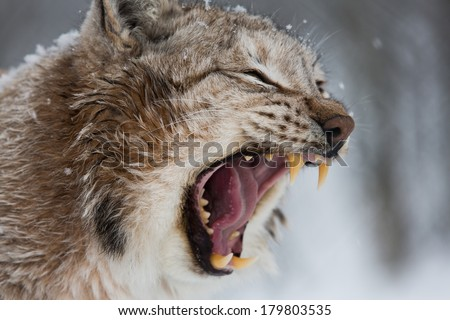 European Lynx angry with mouth open showing teeth hissing - stock photo