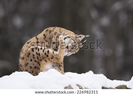 European Lynx in the snow - stock photo