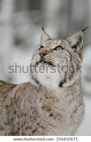 European lynx in winter - stock photo