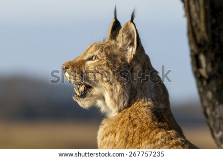 European Lynx. Latvia. - stock photo