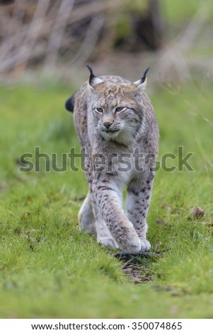 European Lynx, Lynx lynx - stock photo
