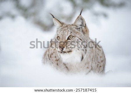European lynx sitting in snow - stock photo