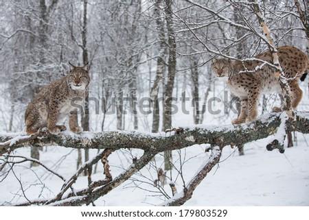 European Lynxs on a tree - stock photo