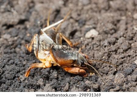 European mole cricket - stock photo