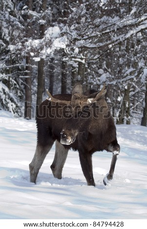 European moose (Alces alces), known in Europe as elk and in North America as moose, walking in the snow. It causes some road accident. - stock photo