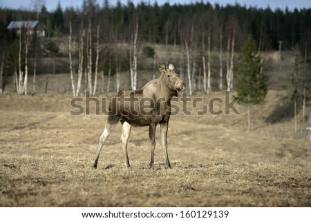 European moose, Alces alces machlis, single mammal in wood, Sweden