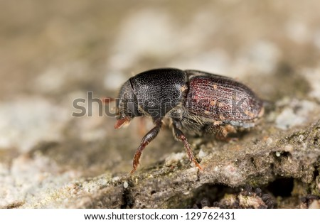 European oak bark beetle, Scolytus intricatus, extreme close-up - stock photo