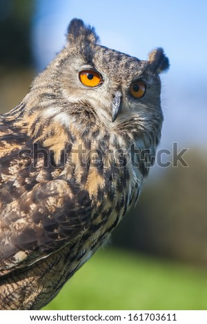 European or Eurasian Eagle Owl, Bubo Bubo, with big orange eyes - stock photo
