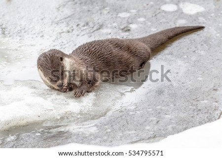 European Otter (Lutra lutra) resting on ice of frozen river