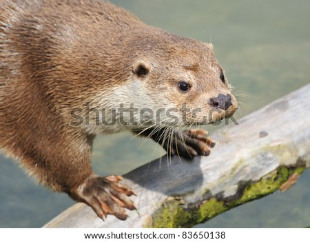 European Otter (Lutra lutra) standing on old branch - stock photo