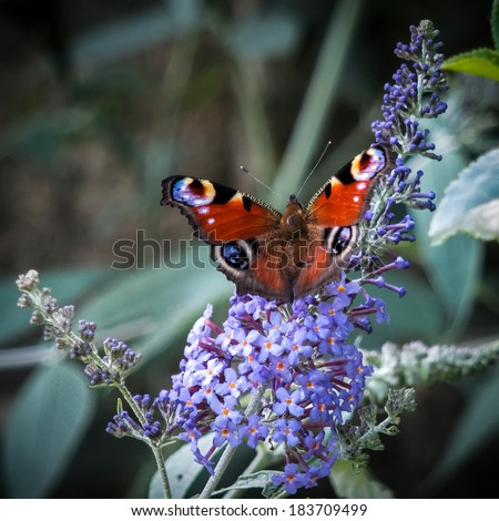 European Peacock butterfly (Inachis io) feeding on Buddleia blossom - stock photo