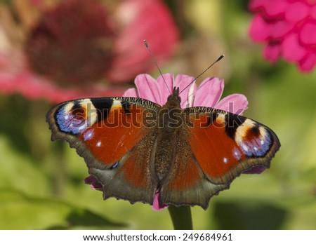European Peacock butterfly on zinnia flower - stock photo