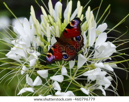 European Peacock, Peacock butterfly on white flower, Nymphalidae family