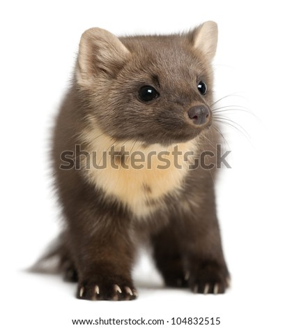 European Pine Marten or pine marten, Martes martes, 4 years old, standing against white background - stock photo