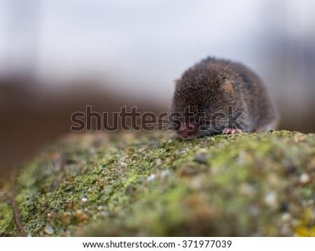 European Pine Vole in the nature - stock photo