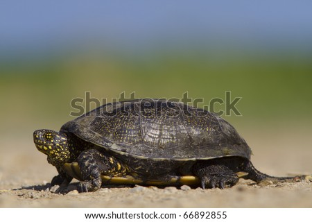 European Pond Terrapin (Emis orbicularis)