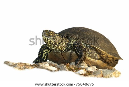 European Pond Terrapin isolated on white background, Emis orbicularis - stock photo