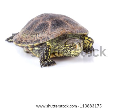 European pond turtle walks isolated on white background