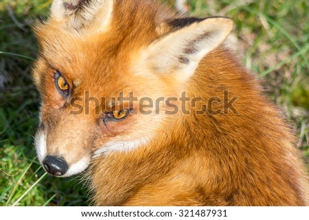 European red fox - stock photo