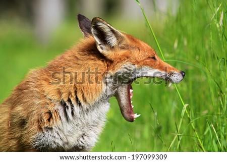European Red Fox (Vulpes vulpes) Vixen yawning - stock photo