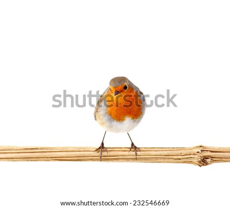 European red robin ( erithacus rubecula) perching on a branch, isolated on white - stock photo