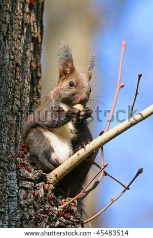 European red squirrel, Sciurus vulgaris - stock photo