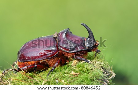 European rhinoceros beetle in the wild - Oryctes nasicornis - stock photo