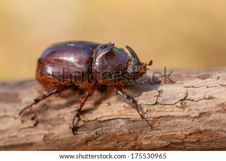 European Rhinoceros Beetle (Oryctes nasicornis) in Natural Habitat - stock photo